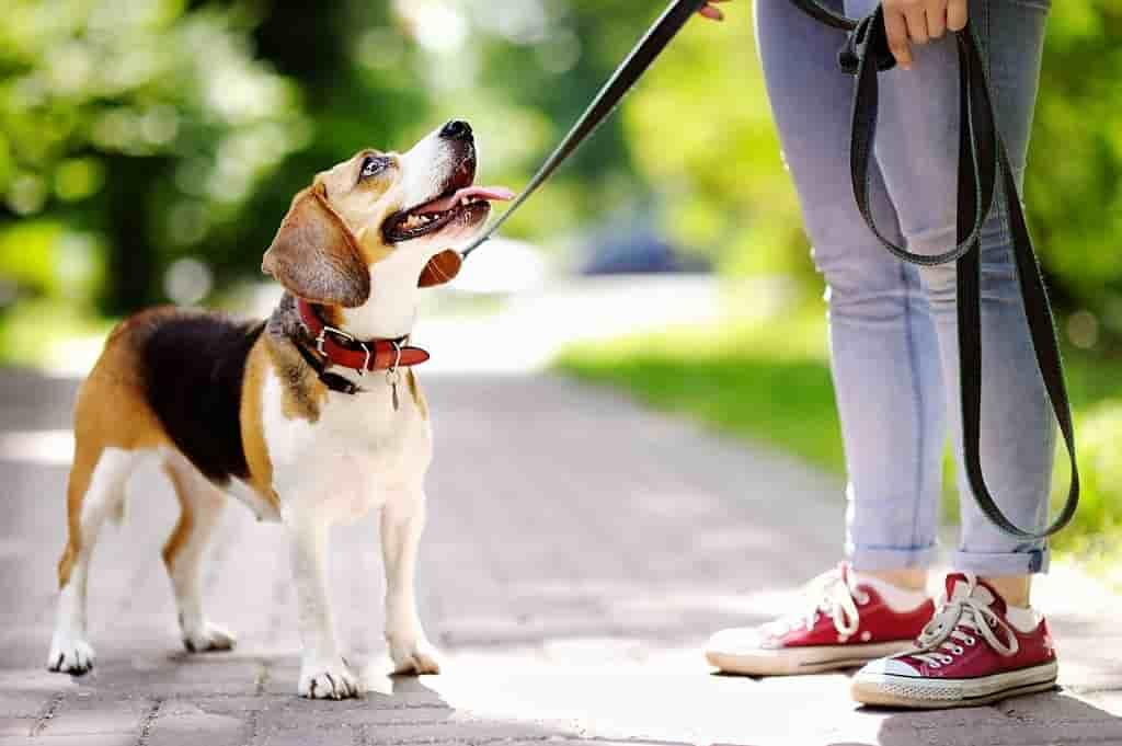 Collar for dogs mesothelioma dog dogue de bordeaux attorney